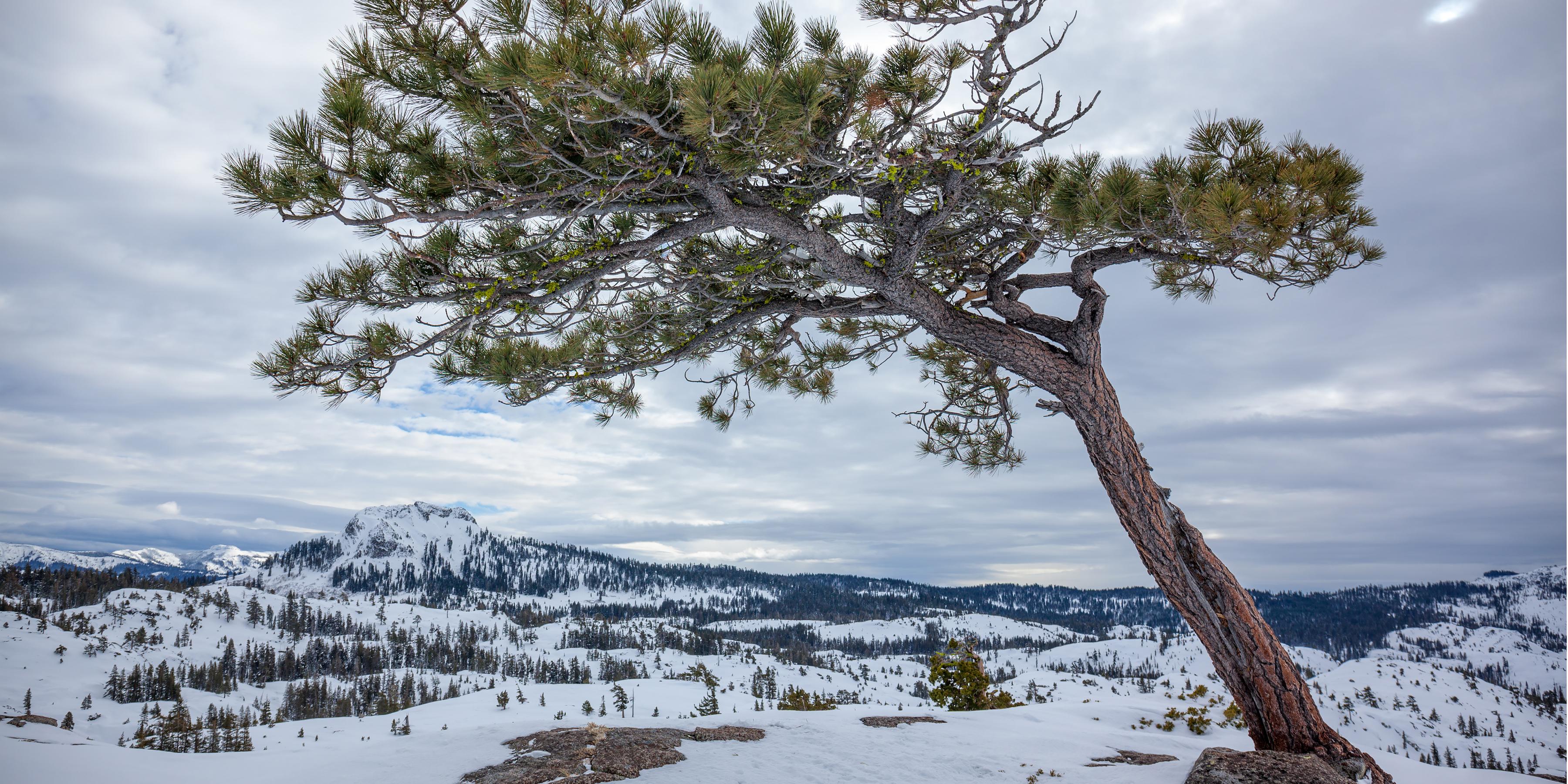 Matrimony Tree Snowshoe Snowshoeing In California