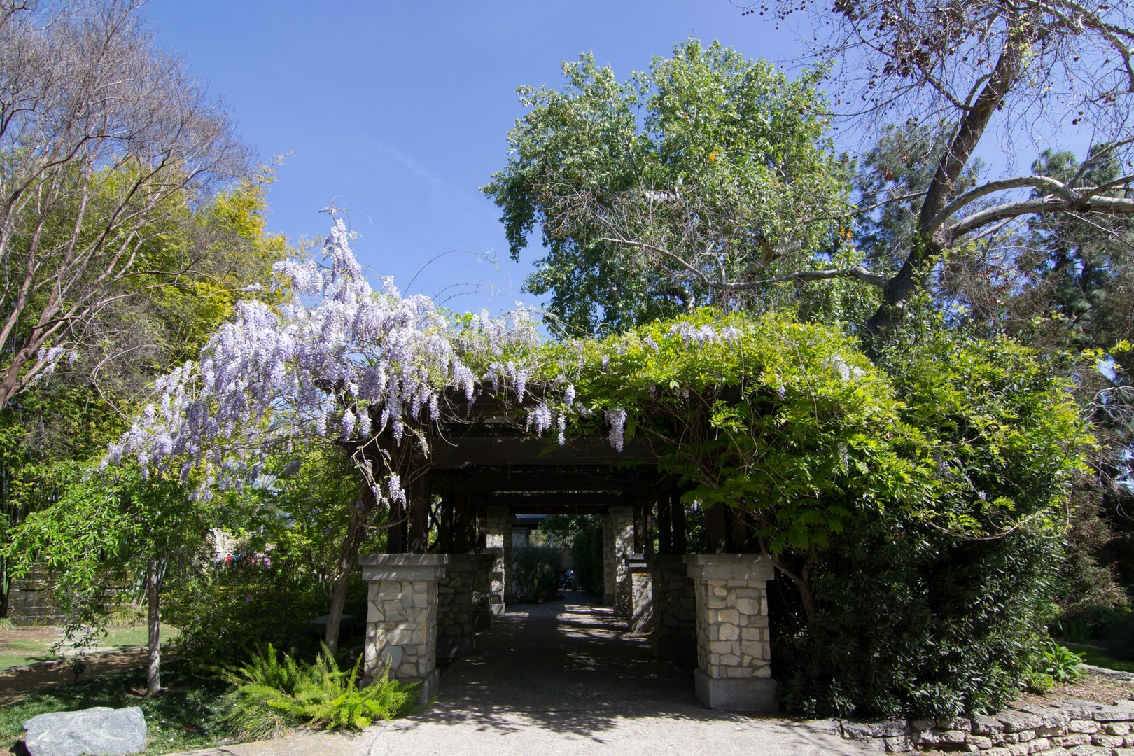 ... Wisteria On An Arbor At Los Angeles County Arboretum.  Botanical Gardens  Blooming Across The ...