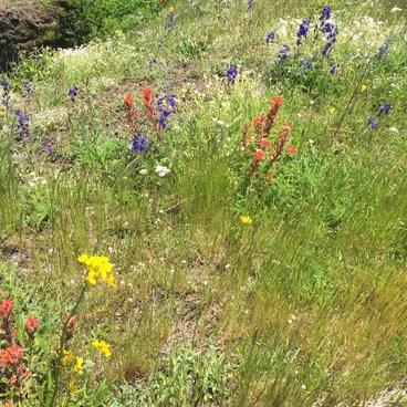Wildflowers!- Saddle Mountain