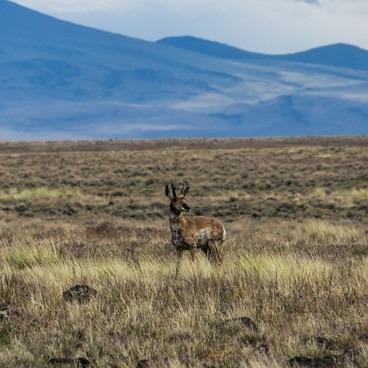 Pronghorn- Hart Mountain National Antelope Refuge