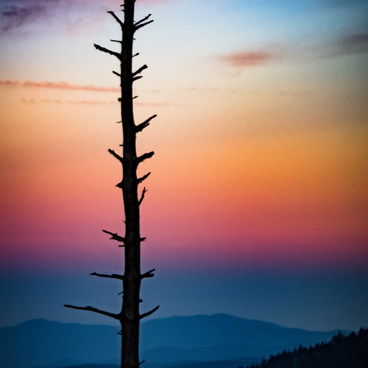 A spruce fir tree in the early morning light. The spruce fir forest is home to many threatened species and the endangered spruce-fir moss spider. Due to logging, pollution and invasive insects their fight for survival continues. - Clingmans Dome