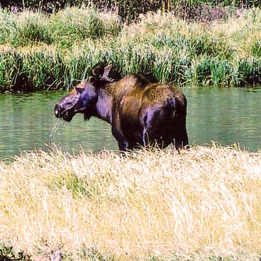 Mosse on Colorado River on way to Little Yellowstone- Little Yellowstone via the La Poudre Pass Trail