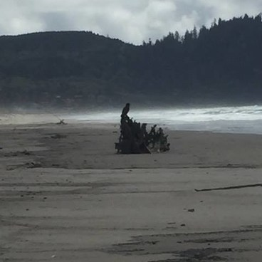 eagle perched on a piece of driftwood- Bayocean Peninsula
