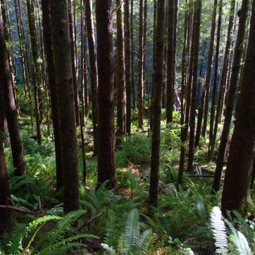 Gwynn Creek Trail in the Siuslaw National Forest.- Cook's Ridge + Gwynn Creek Trail