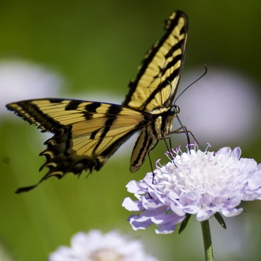 The Mediterranean Plant region is a great place to spot butterflies, such as this Swallowtail.- Fullerton Arboretum