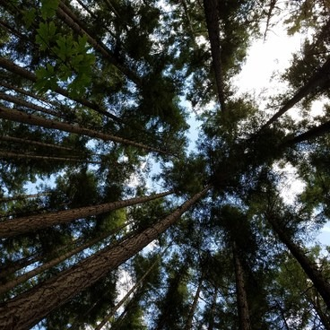 Very tall trees!- Camano Island State Park Loop Trails
