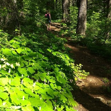 Vanilla Leaf lined trails!!!!- Augspurger Mountain
