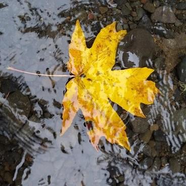 Autumn Leaf!- Abiqua Falls