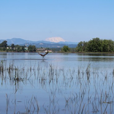 osprey fishing- Scappoose Bay