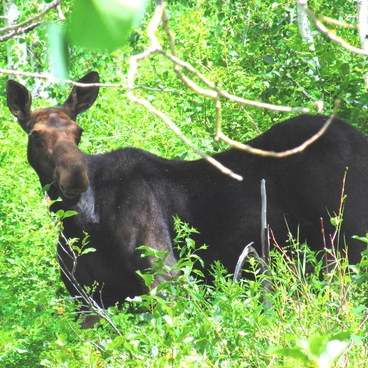 Moose 1, a cow along the trail to Willow Heights- Willow Heights Hike