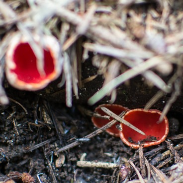 Scarlet elf cup- Powell Butte Nature Park