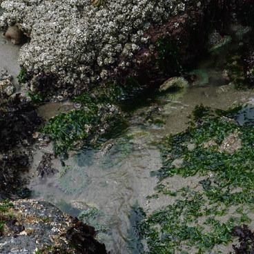 Tide Pool- Shi Shi Beach Hike
