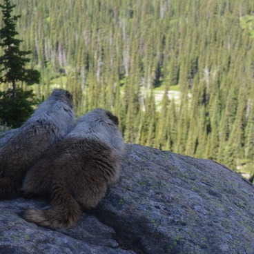 The cutest Marmots you'll ever see- Highline Trail