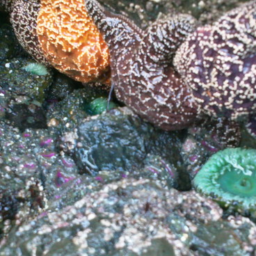 Some of the many tide pool creatures.- Ruby Beach