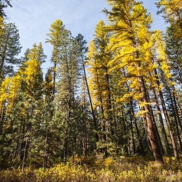 Western larch (Larix occidentalis) and ponderosa pines (Pinus ponderosa) at Shevlin Park.- Shevlin Park