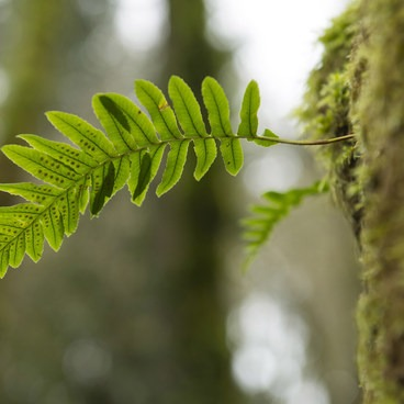 Licorice fern (Polypodium glycyrrhiza) in Tryon Creek State Park.- Tryon Creek State Park