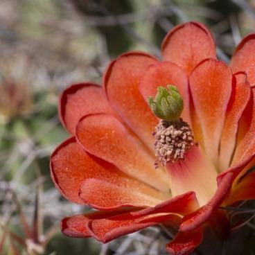 Mojave mound cactus (Echinocereus mojavensis).- Barker Dam Trail