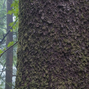 Beautiful scales on the bark of a Sitka spruce.- Tillamook Head Hike