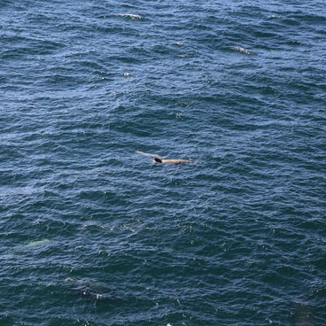 Sea Lions in the Pacific- Cape Flattery