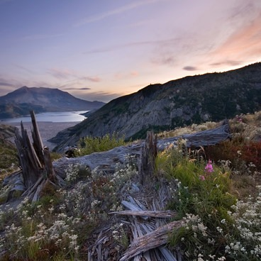Wildflowers blossom amongst downed trees above Spirit Lake from Norway Pass- Mount St. Helens National Volcanic Monument