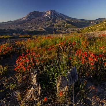 Abundant Indian Paintbrush at the Loowit Viewpoint- Mount St. Helens National Volcanic Monument