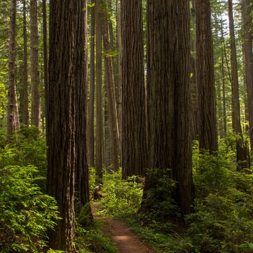 Experiencing the massive forest along the Miner's Trail of Prairie Creek Redwoods State Park- Redwood National + State Parks