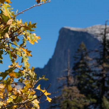 Half dome lies in the distance behind yellow oak leaves- Four Mile Trail to Glacier Point