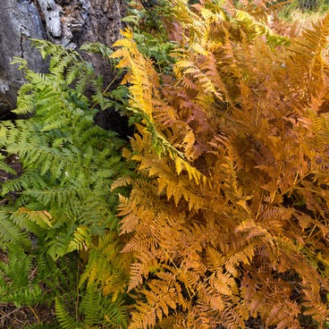 Ferns in the process of transition- Granite Lake + Seven Up Pass