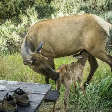 Elk calf and mom pay a visit- Mammoth Campground