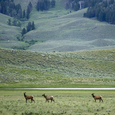 Elk in Lamar Valley- Lamar Valley