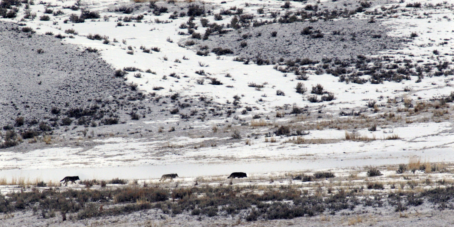 Wolf Tracking in Yellowstone National Park