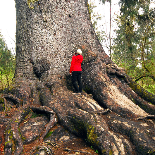 Quinault Giant Sitka Spruce