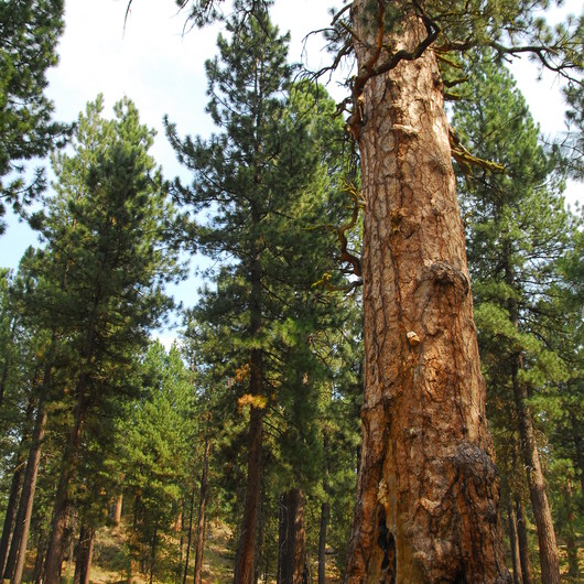 Big Tree Ponderosa Pine