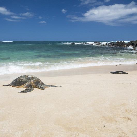 Laniakea Beach + Turtle Beach