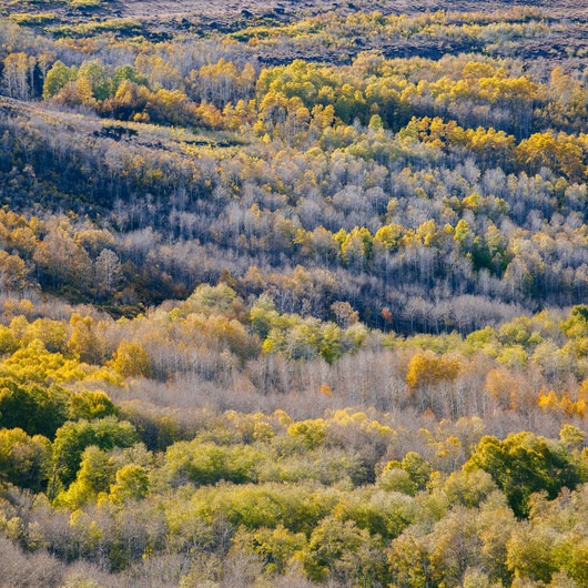 Steens Mountain Quaking Aspen Fall Foliage