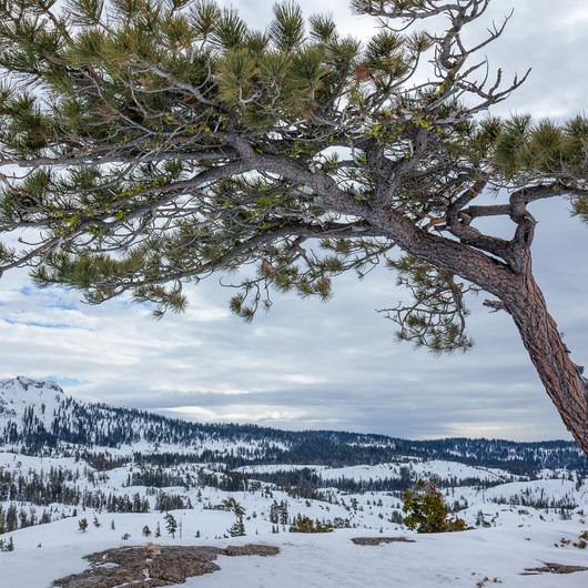 Matrimony Tree Snowshoe