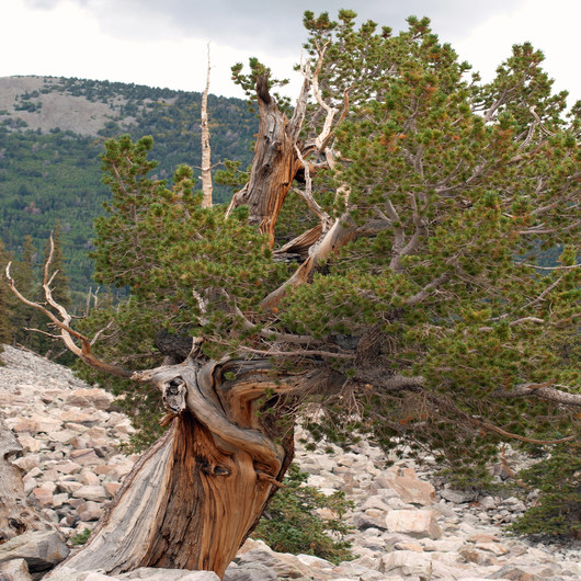 Bristlecone Pine Trail