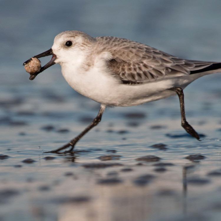 Sanderling: A Winter Migration Visitor