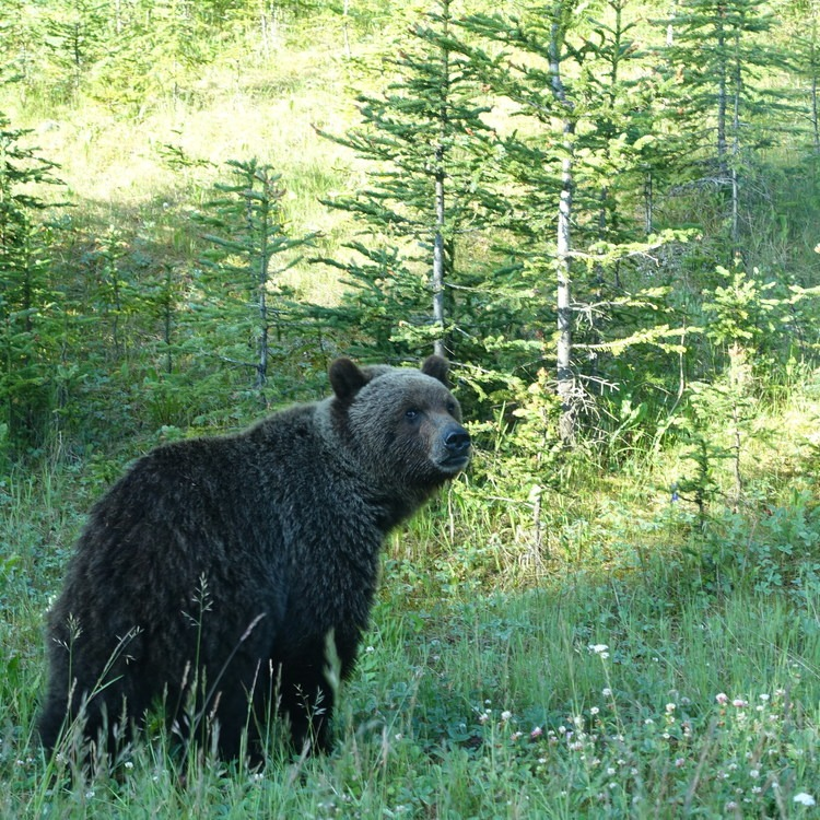 Bringing Grizzlies Back to the North Cascades