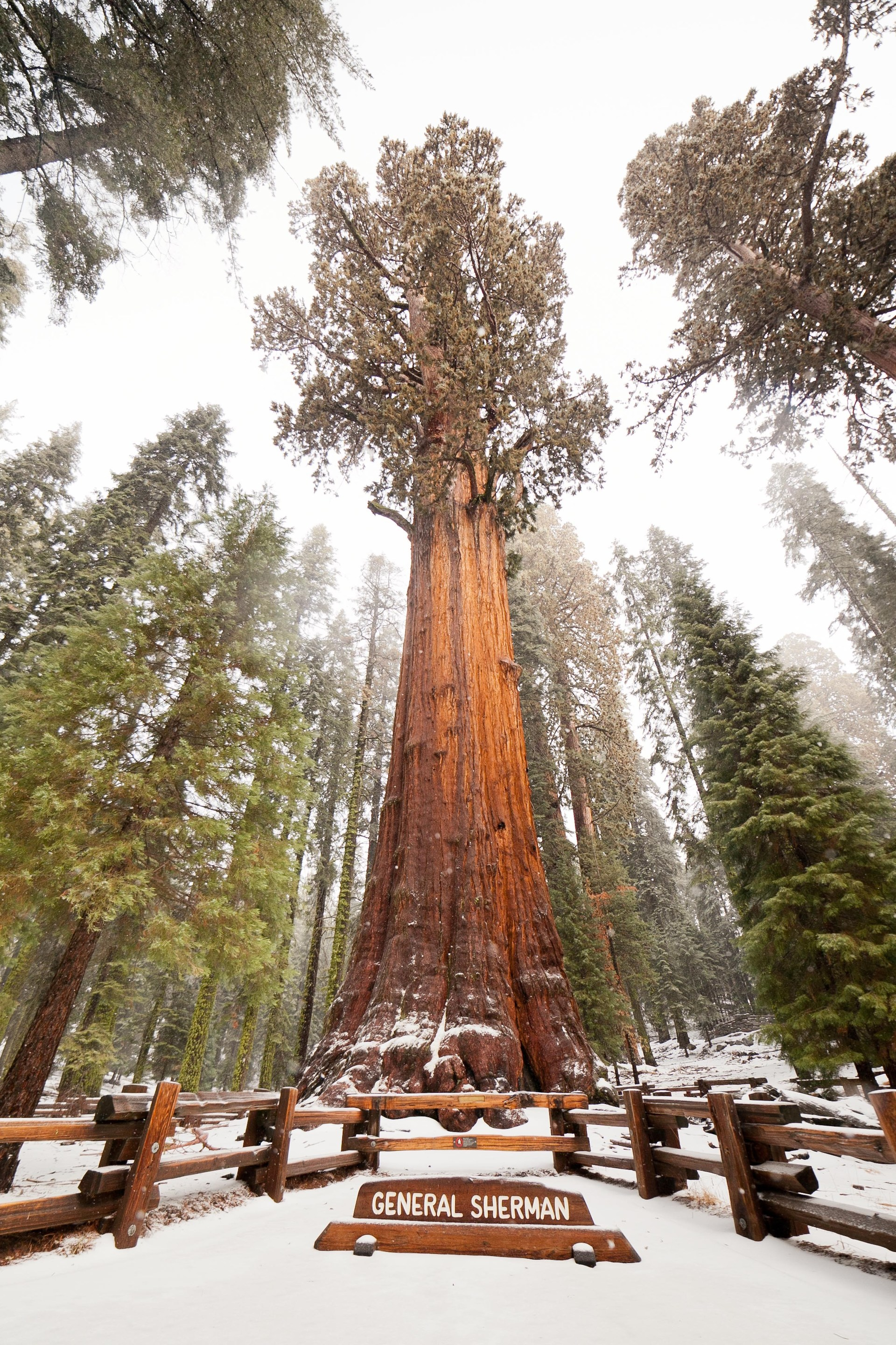 Fun Fact of the Week: The World's Largest Tree