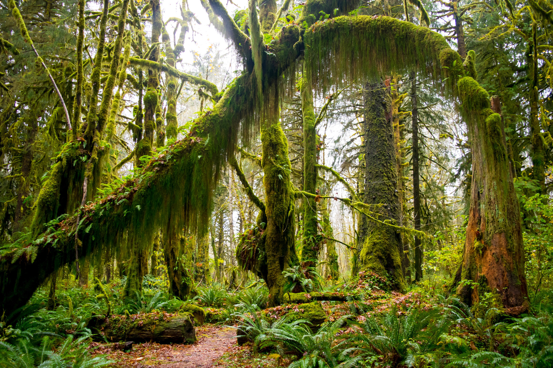 maple glade rain forest trail olympic national park washington maple glade rain forest trail