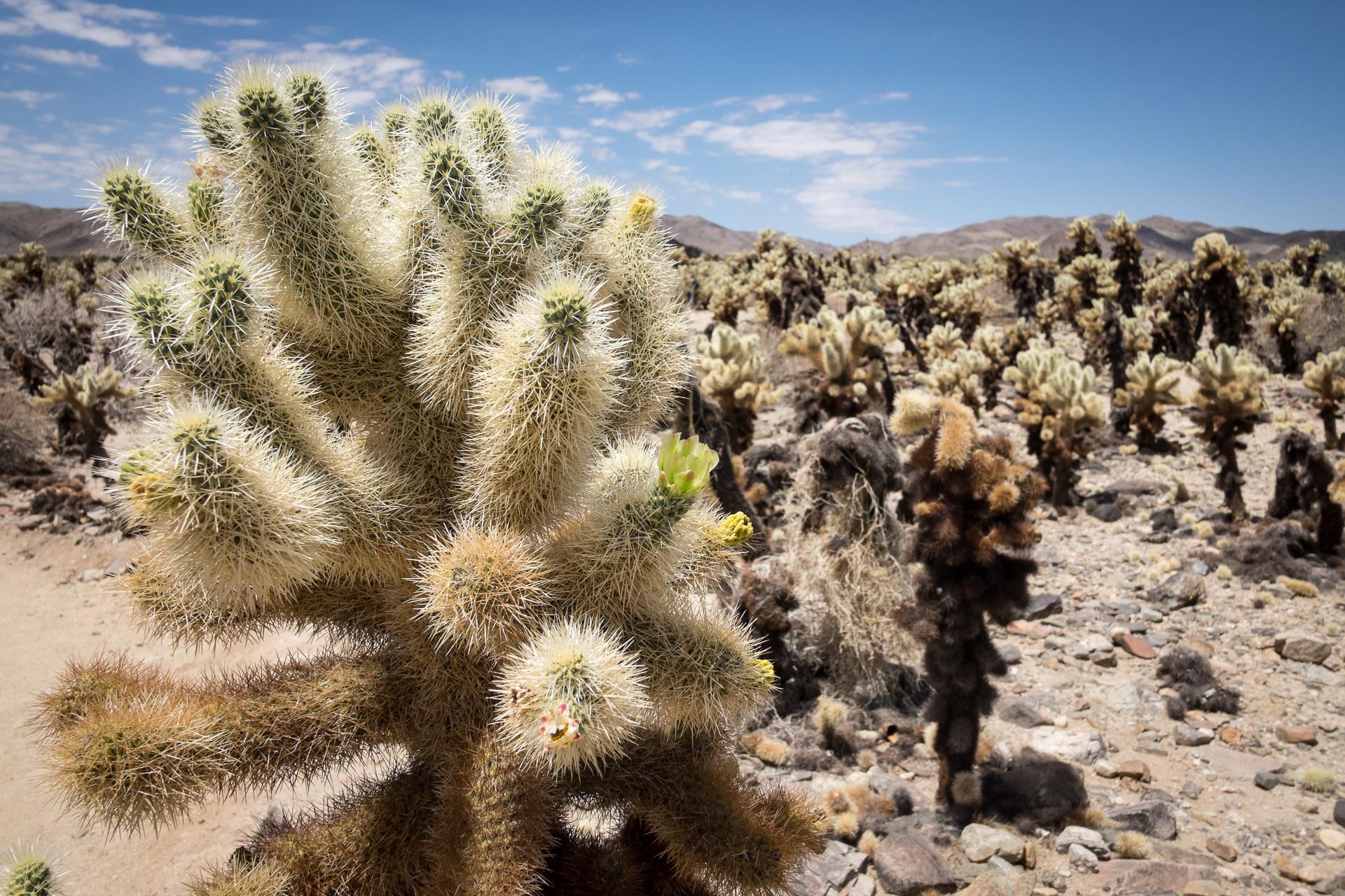 Cholla Cactus Garden Outdoor Project