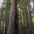 Coastal redwood (Sequoia sempervirens).- 25 of the West's Most Iconic Trees
