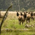 Westwind's resident Roosevelt elk herd.- OutdoorProject.org Partners with Westwind Stewardship Group