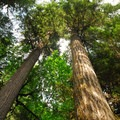 Douglas fir (Pseudotsuga menziesii).- 25 of the West's Most Iconic Trees