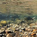 Wild chinook salmon (Oncorhynchus tshawytscha). Salmon River, Oregon.- Salmon Spawning Here In The Pacific Northwest