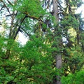 Sitka spruce (Picea sitchensis).- 25 of the West's Most Iconic Trees