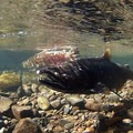 Salmon in the Pacific Northwest.- News of the Week - February 16, 2015