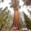 Giant sequoia (Sequoiadendron giganteum).- 25 of the West's Most Iconic Trees