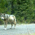 Remote camera photo of OR7 in eastern Jackson County on USFS land. Photo courtesy of USFWS.- An Inflection Point For Oregon's Wolf Recovery